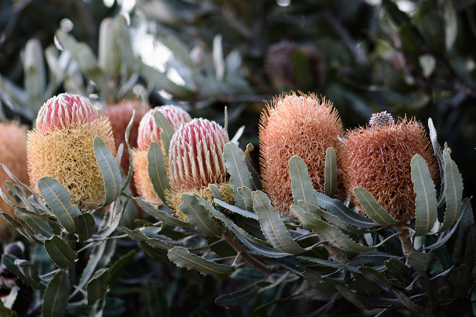Banksias Can Easily Be Propagated From Seeds