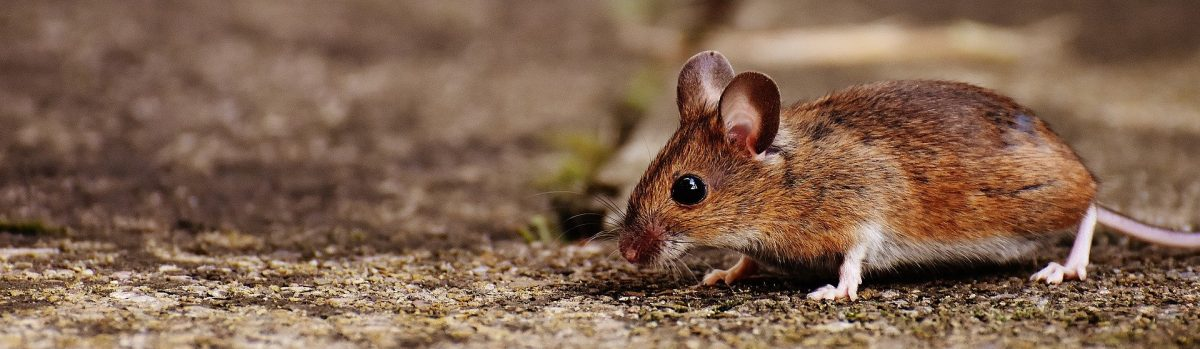 Your Options With Rodent Proofing Services Seattle