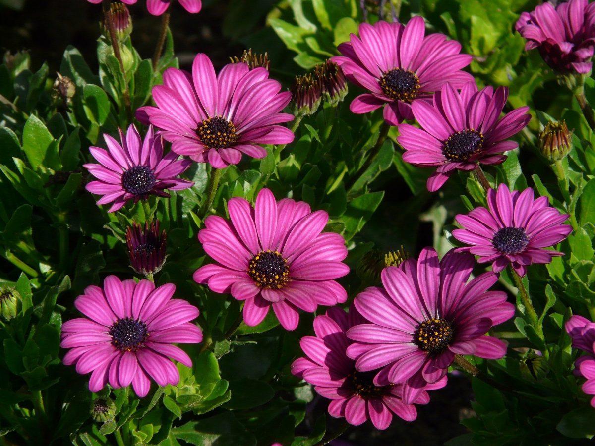 Tips On Growing African Daisy Australia